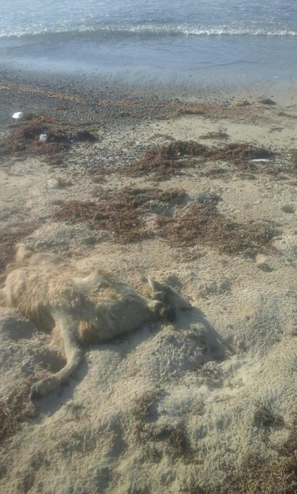 Dead sheep washed up the shore in Ras Gharib in the Red Sea governorate in Egypt. — Courtesy photos