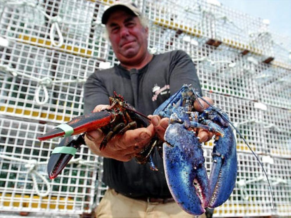 Greg Ward holds a rare blue lobster he caught in Portsmouth, New Hampshire.