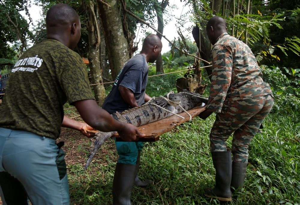 A crocodile that was captured from a lagoon and temporarily kept in a zoo, is seen being transported to be released in a national park, in Abidjan, Ivory Coast. - Reuters