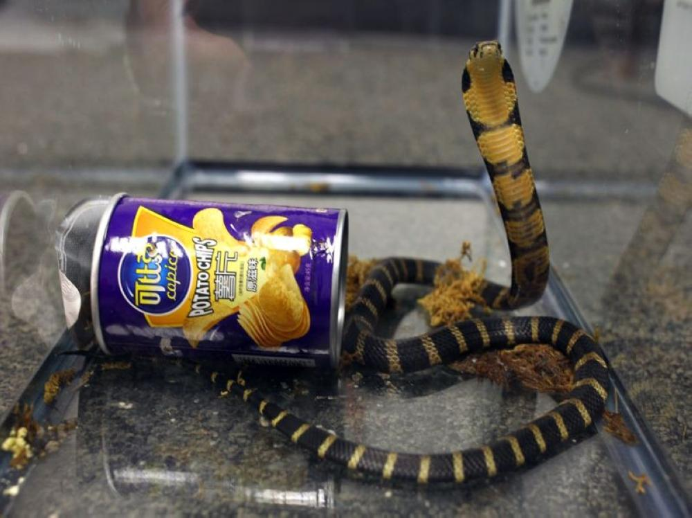 This undated photo provided by US Fish and Wildlife shows a king cobra hidden in a potato chip can that was found in the mail in Los Angeles, California. - AP