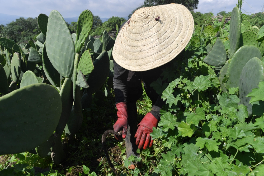 A farmer weeds his nopal plantation on the slopes of the extinct Teuhtli volcano in Milpa Alta borough, Mexico City. A group of scientists combined the problem of the treatment of organic waste, the necessity of generating electricity in an ecologic way and the enormous production of nopal in Mexico. The result was a biodigestor, the first of its kind, which potential seems promising. — AFP photos