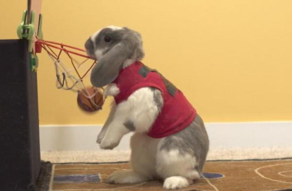 Bini, the Holland Lop rabbit, placed a tiny ball through a miniature basketball hoop seven times to set a Guinness World Record for most basketball slam dunks in one minute.