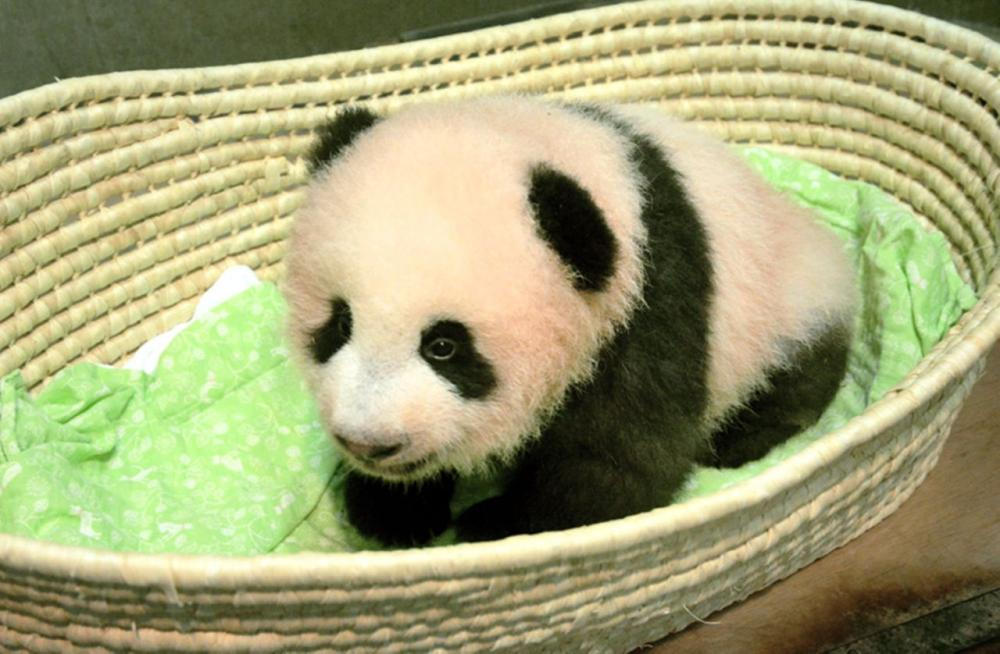 This Sept. 20, 2017 photo released by Tokyo Zoological Park Society, shows a female giant panda cub on the 100th day since her birth, at Ueno Zoo in Tokyo. The baby giant panda now has a name: Xiang Xiang in Chinese, or Shan Shan in Japanese.- AP