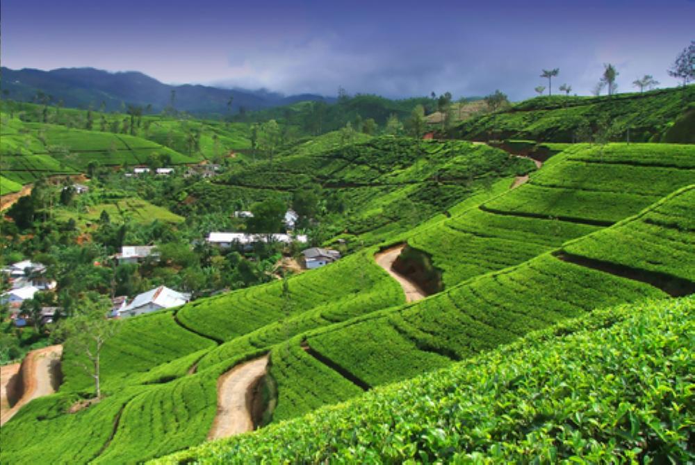 Tea farm landscape