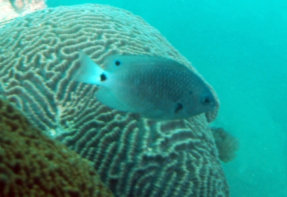 Paletail Damselfish
