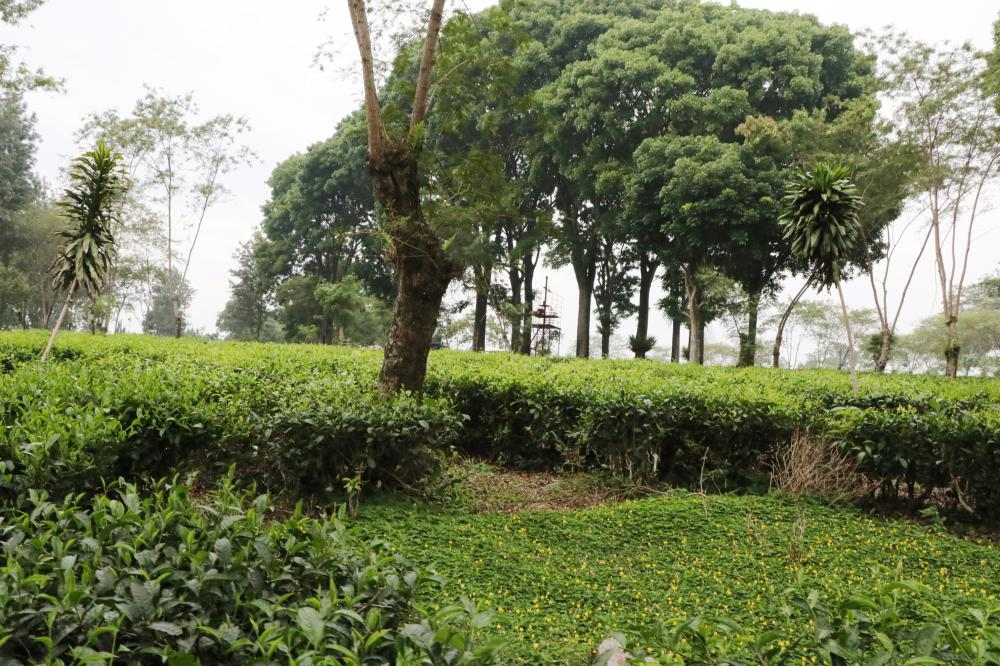 See how black tea is planted, processed and packed… and make your own professional cup of tea