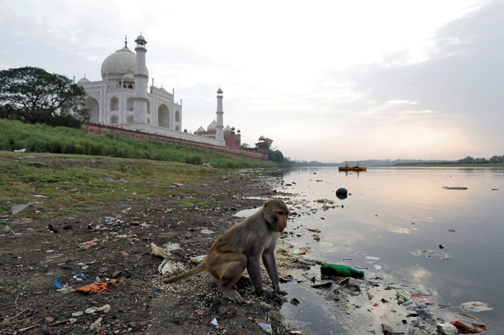 A monkey looks for eatables on the polluted banks of the Yamuna river, next to the historic Taj Mahal in Agra, India, in this May 19, 2018 file photo. — Reuters
