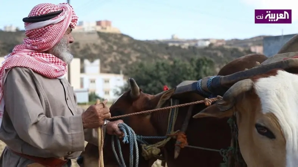 Uncle Mohammed is famous in his region because of his bulls that he uses for tilling, watering and grinding grains.