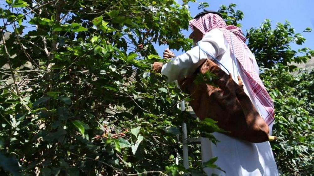 In Jazan, the coffee tree is described as green gold.