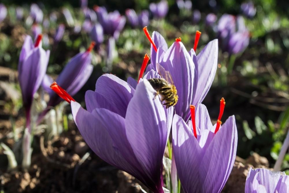 Saffron flowers growing in a field in the Taliouine region in southwestern Morocco.