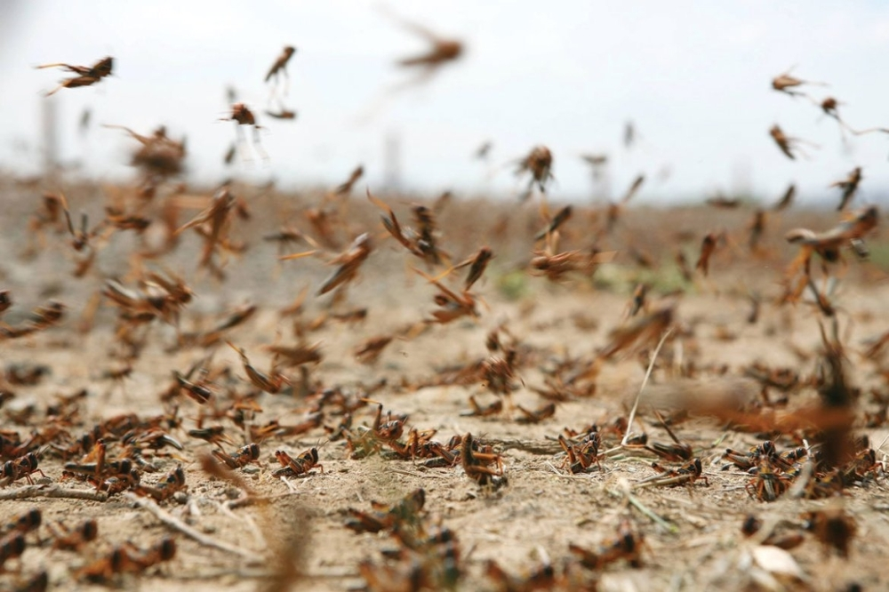 Swarms of desert locusts from the Empty Quarter are seen invading farms in the Kingdom.