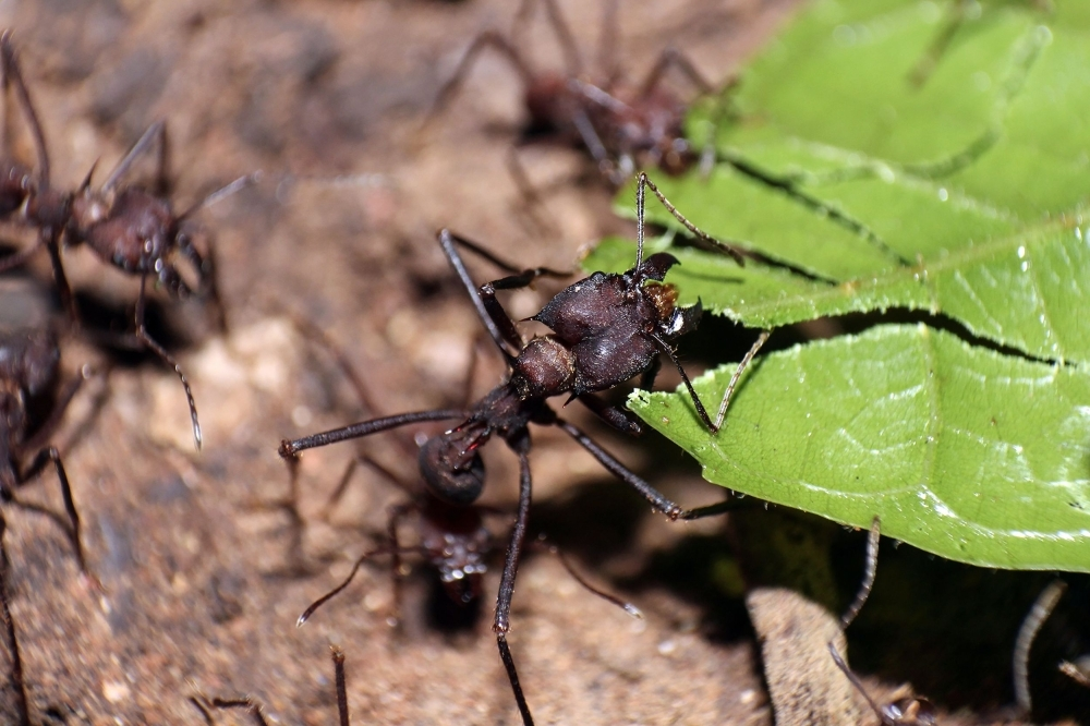 A handout photo obtained from the Northwestern University on Tuesday shows leaf-cutter ants transporting leaves. — AFP