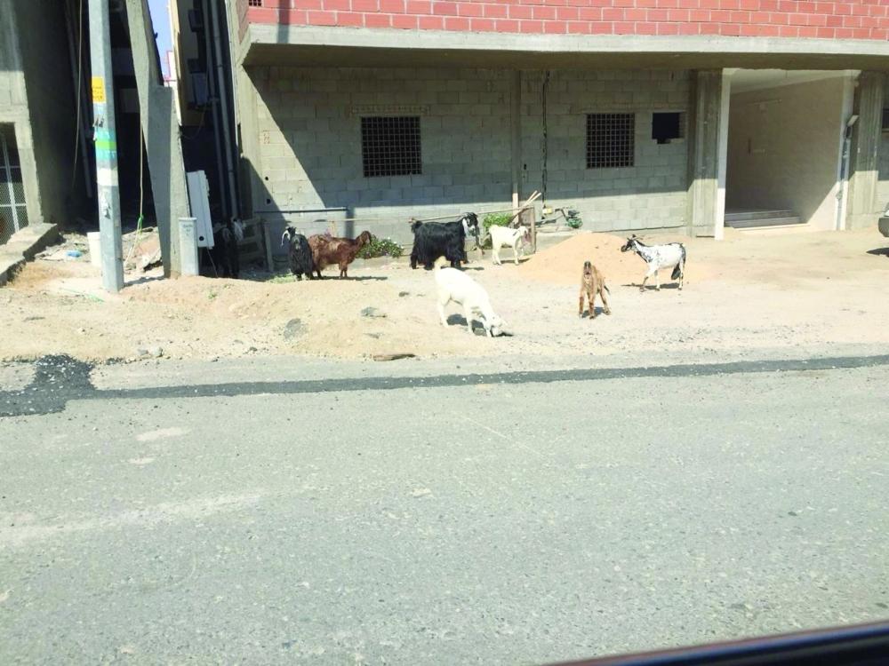 Goats roam the streets in Al-Sharie district of Makkah.