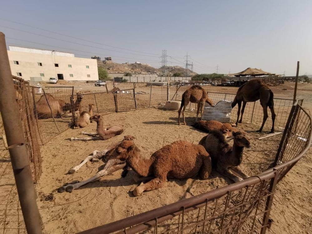 Municipality inspectors removed as many as 495 barns along main roads after the ban on sale of camel milk in the streets.