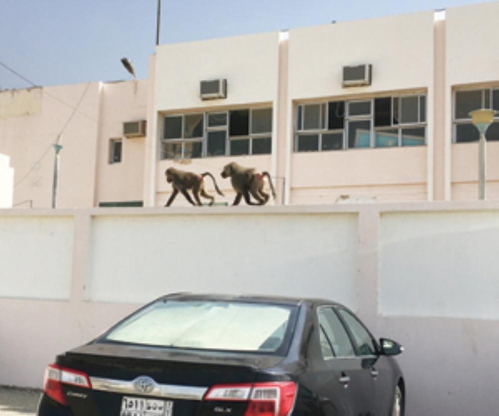 School students in Al-Majaridah no longer feel safe because of the baboons. — Courtesy Al-Watan