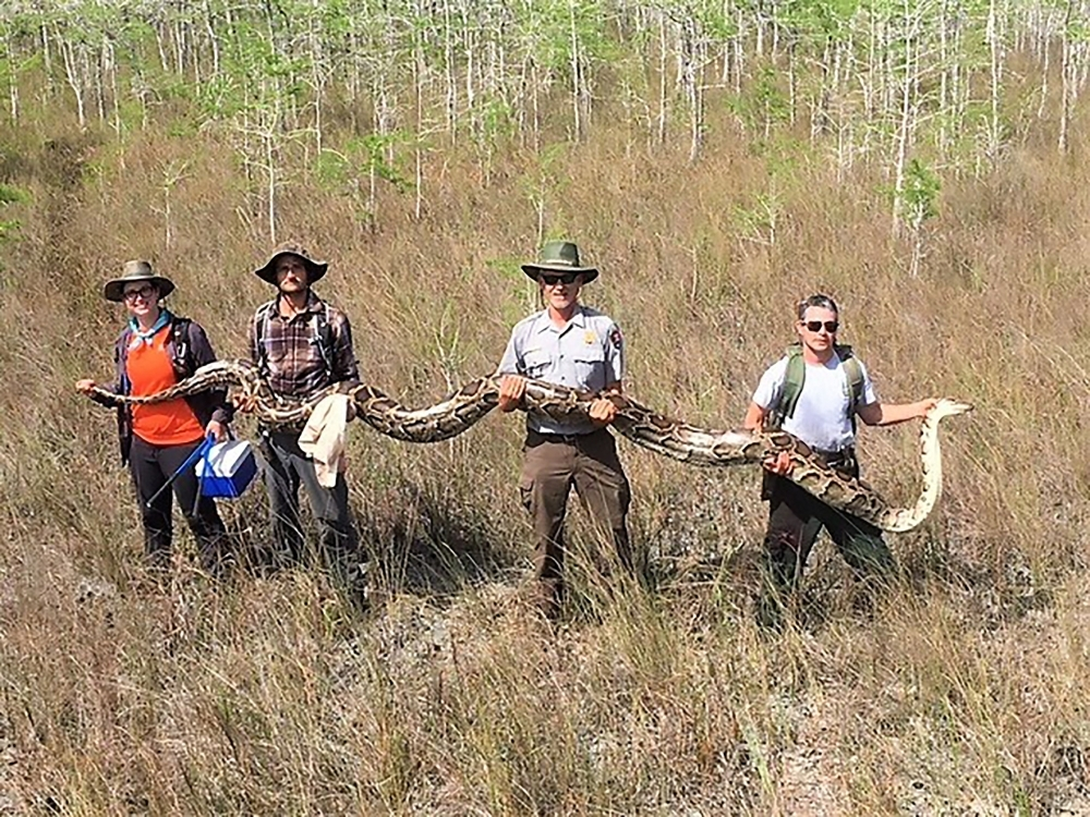Snake's 'boyfriend' leads hunters to largest python in Florida Everglades