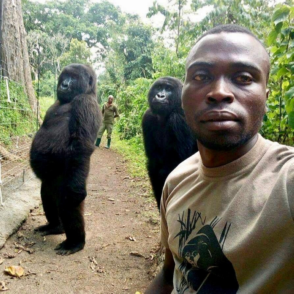 Mathieu Shamavu, Virunga Ranger and caretaker at Senkwekwe Center for Orphaned Mountain Gorillas poses for a selfie with two gorillas at Virunga National Park, Democratic Republic of the Congo, in this April 18, 2019 file photo. — Reuters