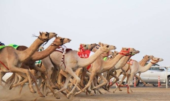 The festival will feature sports, cultural and entertainment activities alongside educational workshops for camel owners and visitors interested in camel sports. — SPA