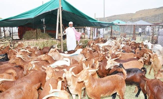 The Kingdom imports a huge number of sacrificial livestock for Eid Al-Adha. — SPA