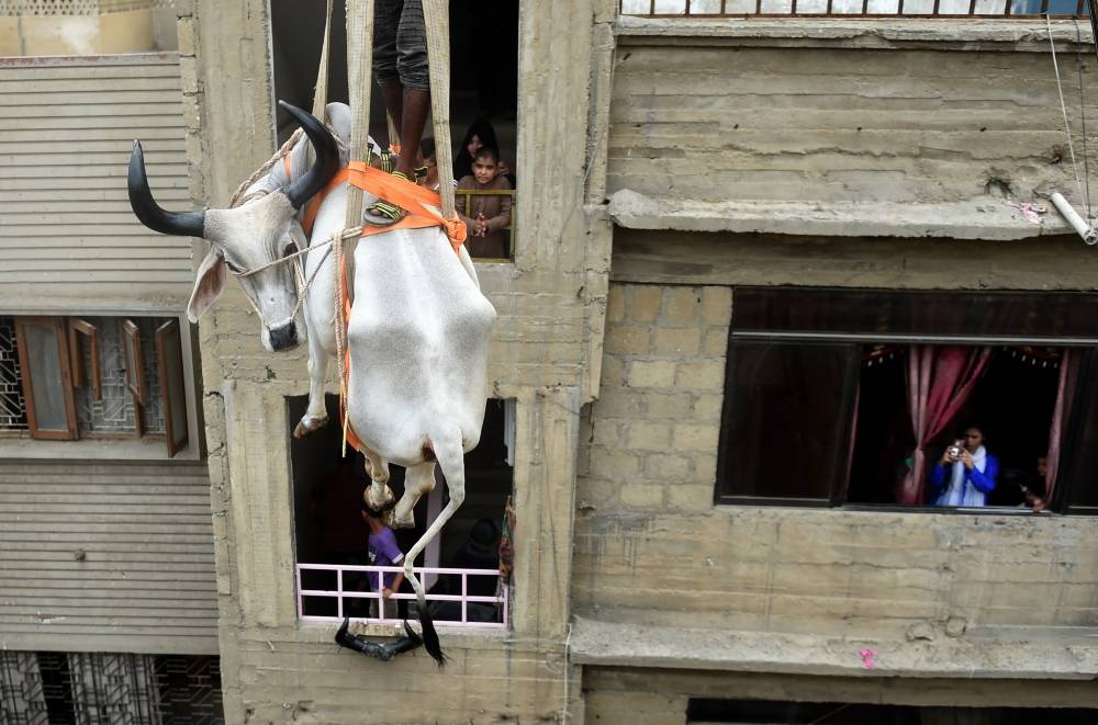 Pakistani residents watch as a crane lifts a bull from the roof of a building in preparation for the Muslim annual festival of Eid Al-Adha or the Festival of Sacrifice, in Karachi, in this Aug. 4, 2019 file photo. In Karachi alone nearly half a million cows, goats and other camels will be sold or sacrificed during the Eid Al-Adha holiday. But in the sprawling city of around 20 million, notorious for its gridlocked traffic, dense neighborhoods, and woeful lack of green space, some roofs are transformed into temporary livestock pins ahead of Eid. — AFP