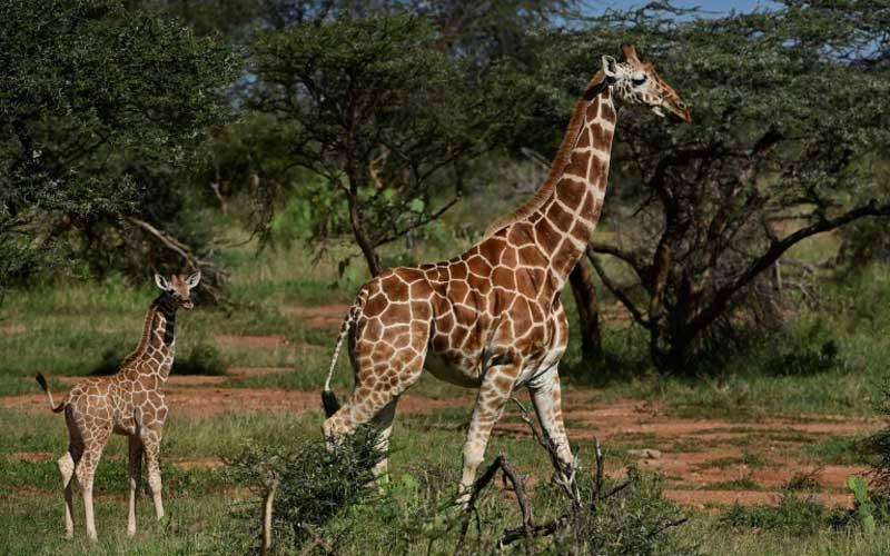 In Kenya, Somalia and Ethiopia, reticulated giraffe numbers fell 60 percent in the roughly three decades to 2018. -AFP