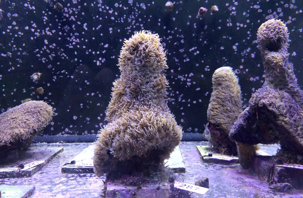 Pillar corals in a water tank at the labs of The Florida Aquarium Conservation Center in Apollo Beach where recently the spawning occurred on August 22, 2019, in Apollo Beach, Florida. -AFP