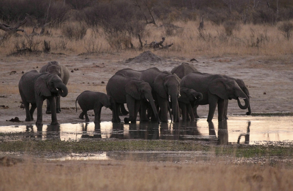 A herd of elephants gather at a water hole in Zimbabwe's Hwange National Park in this Aug. 1, 2015 file photo. — Reuters