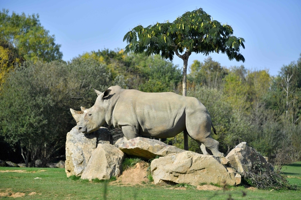 Sana, a female white rhino strolls through its enclosure at the La Planete Sauvage zoological park in Port-Saint-Pere, western France, in this Oct. 14, 2017 file photo. — AFP