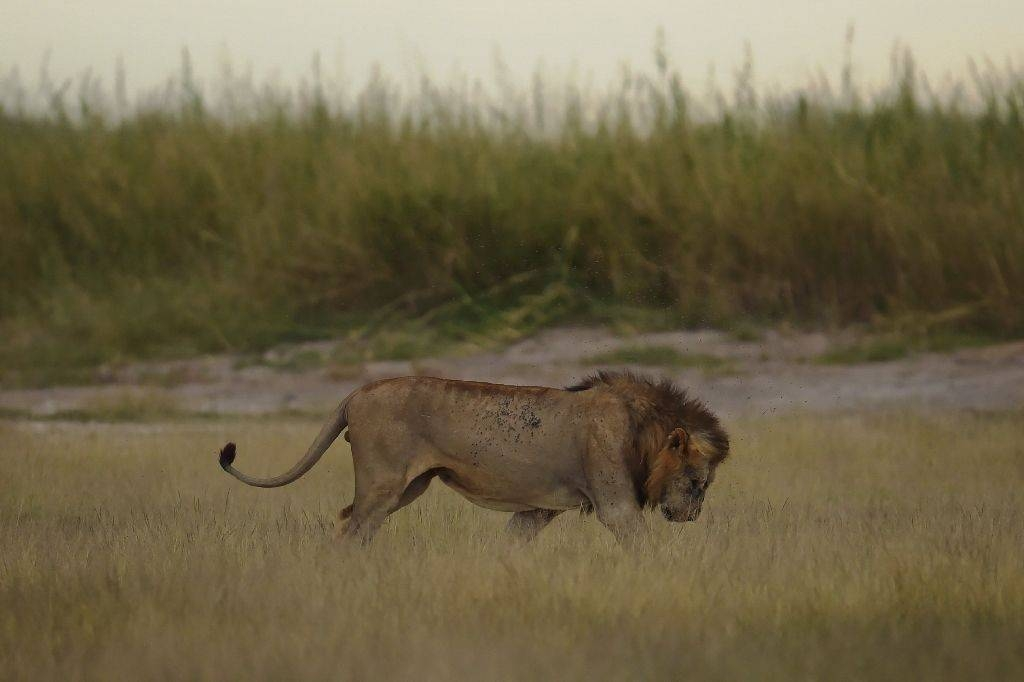 The Kenya Wildlife Service (KWS) launched a search operation to locate and sedate the lion after a man was mauled to death outside the national park south of the city. — AFP