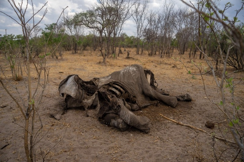 The carcass of an elephant that succumbed to drought in the Hwange National Park, in Zimbabwe is seen in this file photo taken on November 12, 2019. -AFP