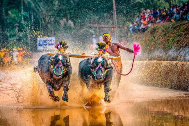 Srinivas Gowda has won fame after clocking blistering times running behind two buffaloes at an annual race called Kambala. — AFP