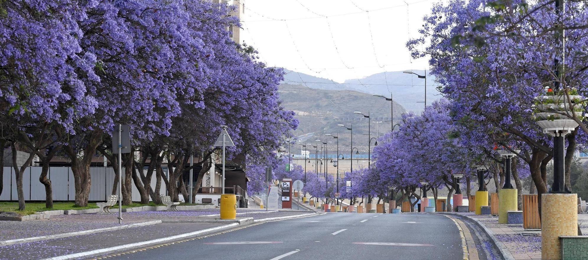 Saudi Arabia S Abha Blooms Purple Saudi Gazette