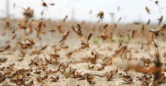 A total of 24 pest control teams, nine exploration teams, five supervision and monitoring teams and two maintenance teams have been formed to counter the locust threat. — Courtesy photo
