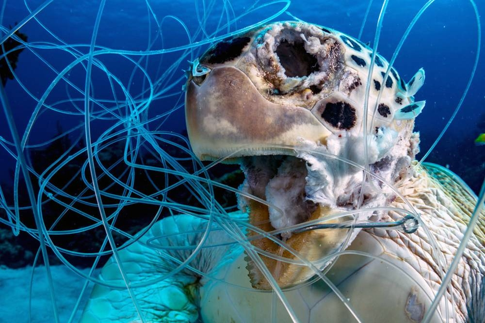 Discarded fishing lines and hooks are also deadly; this decomposing green turtle was ensnared in the Bahamas in the Caribbean Sea. — courtesy UN World Oceans Day/Shane Gross