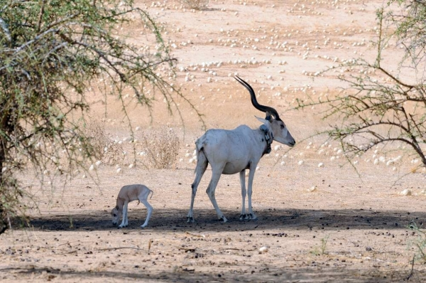 The first Addax calf with his mother in Chad.