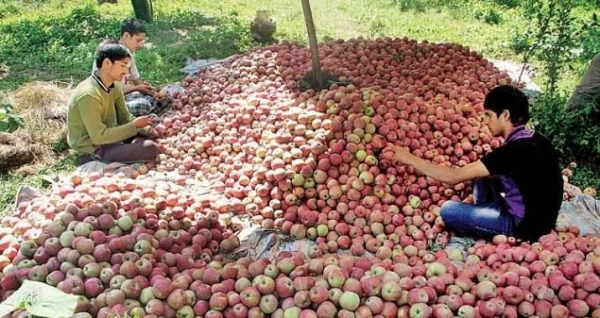 The apple industry brings about 100 billion rupees revenue to the union territory and provides livelihood to several thousand persons in the region as well as outside. — Courtesy photo