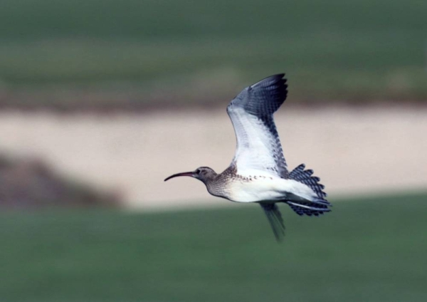 Steppe Whimbrel