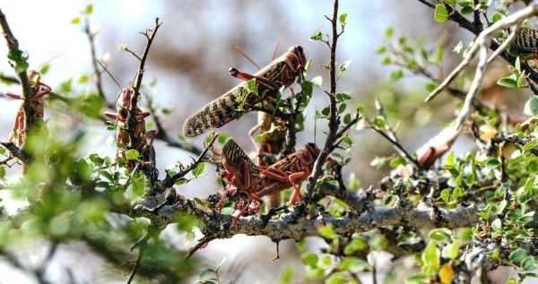 Locusts continue to threaten the livelihoods of people in the Horn of Africa. — courtesy FAO/Haji Dirir