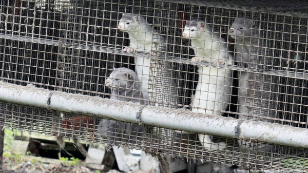 Polish scientists have identified the first cases of coronavirus in mink at a farm in the north of the country.