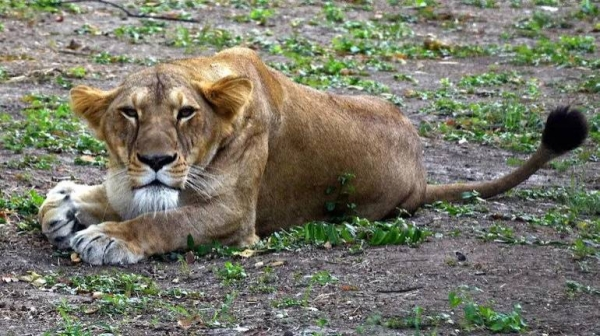 A number of Asiatic lions, an endangered species numbering only in the hundreds, had shown symptoms of the disease in the zoo. On Thursday, a symptomatic 9-year-old lioness named Neela died. It remains unclear whether COVID-19 was the direct cause of the animal's death. — Courtesy photo