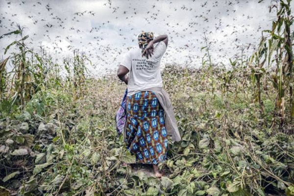 File photo of ravenous locust swarms threaten the entire East Africa subregion. — courtesy FAO